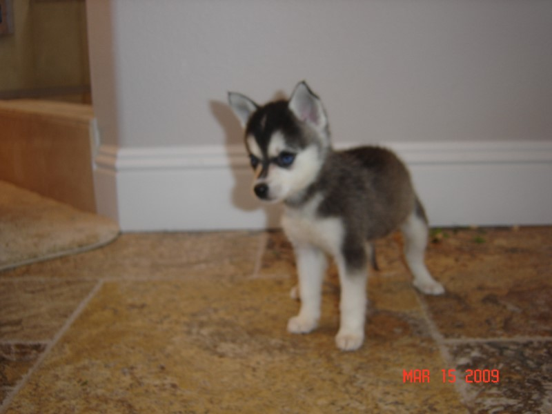 Support Alaskan Klee Kai National Rescue!