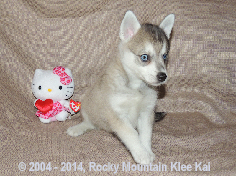 7 Week Old Alaskan Klee Kai Puppy