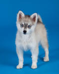 Alaskan Klee Kai with Blue Eyes
