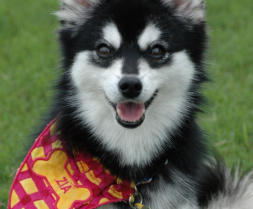 Happy Klee Kai