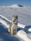 Miniature Snow Dog