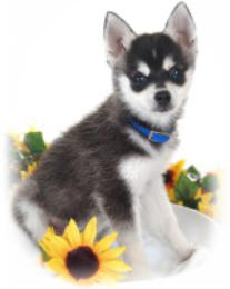 Klee Kai Posing for Picture