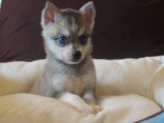 Prim and Proper Klee Kai