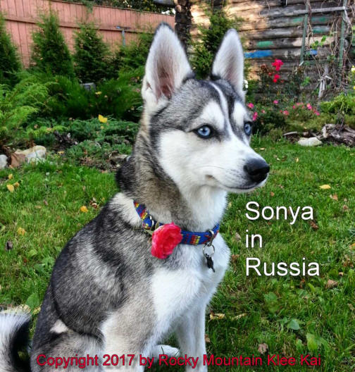 Alaskan Klee Kai Breed Information Book Puppies For Sale